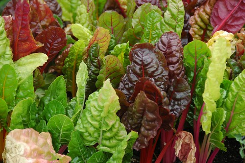 Beta vulgaris 'Bright Lights', Swiss Chard