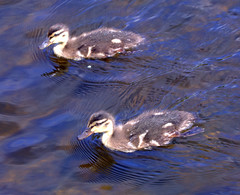 Ducklings (PJCY) Tags: dublin nature river duckling guasdivinas