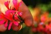 Cogli la mia vita (Nuxis [Davide]) Tags: italy flower macro tree love nature italia hand sony mani alpha toscana amore grazie leben vita toscany geranio sentimenti tivogliobene nuxis fioei alpha350 fioew