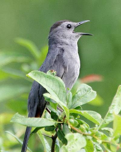 Another catbird