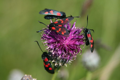 Four Six-Spot Burnet Moths