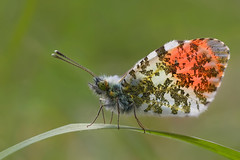 Backlit Male Orange Tip Butterfly (steb1) Tags: orange macro butterfly insect lepidoptera tip anthocharis cardamines