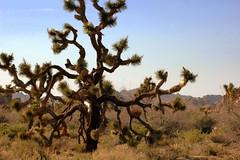 Joshua Tree NP, CA (Motty Chen) Tags: joshuatree