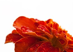 11 | MacroMay 2010 (jennifer glass) Tags: red orange flower macro yellow garden droplets spring blossom whitebackground backlit annual marigold waterdroplets resized 5x7 macromay sigma70mmf28