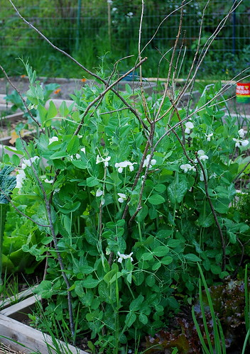 flowering snow peas