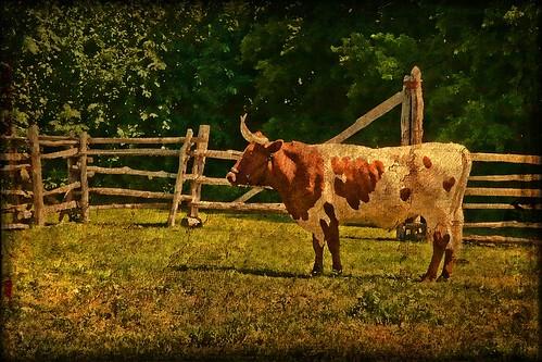 Pineywoods Ox