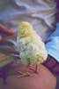 Baby Chick.. (- M7D . S h R a T y) Tags: baby cute yellow chick catch mashaallah wordsbyme ®allrightsreserved™ مــاشــاءالله
