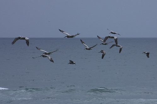 Brown pelicans in La Jolla, CA