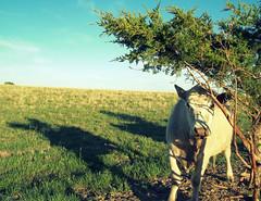Felix (Mason Witzel) Tags: green field rain cow spring cattle felix mason may 23 52311 witzel 31bridgeworks13 album88solidrain
