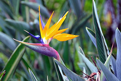 Bird of Paradise at Aston Aloha Beach Hotel (John Petrick) Tags: hawaii birdofparadise kauai wailua d90 hawaiivacation kauaihawaii nikon18200mmvr kauaivacation birdofparadisekauai astonalohabeachhotel wailuakauai wailuahawaii