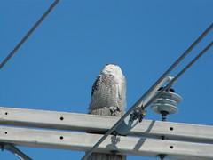 Snowy Owl (willambera) Tags: bird lumix raptor prey snowyowl fz18 wintermigration