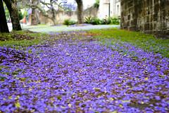 Jacaranda Carpet (Jaydy77) Tags: floral carpet purple jacaranda