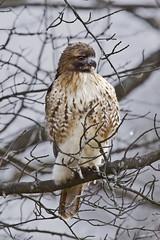 Red-tailed Hawk (Dah Professor) Tags: kh0831 thegreatswamp bird greatswamp swamp nj