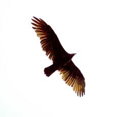 Turkey Vulture (cbellh47) Tags: vulture buzzrd