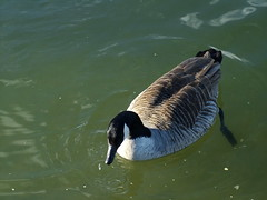 Canada Goose (kenjonbro) Tags: uk lake kent pond fuji bluewater goose waterfowl canadagoose canadageese boatinglake fujis7000 kenjonbro