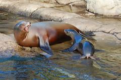 Blijdorp (Eisbeertje) Tags: animal animals zoo rotterdam blijdorp nikon december nederland sealion 70300mm 2008 dieren dier tier dierentuin zeeleeuw tieren