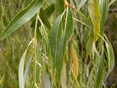 Weeping Willow leaf (John Tann) Tags: mudgee nsw australia january 2009 geo:country=australia geo:alt=470m willow salicaceae salix taxonomy:family=salicaceae taxonomy:genus=salix invasive weed weepingwillow salixbabylonica babylonica taxonomy:species=babylonica taxonomy:binomial=salixbabylonica taxonomy:common=weepingwillow