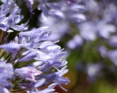 It's that time of the week again... (Mary Trebilco) Tags: flowers light flower macro nature canon garden 50mm purple bokeh saturday explore bloom cropped blooms agapanthus straightfromthecamera niftyfifty sooc hpps canoneos1000d perfectpurplesaturday kitchiesgarden