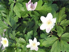 ANEMONE nemorosa 'Wilks' Giant'