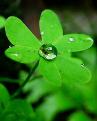 Happy St Patrick's Day (Darwin Bell) Tags: macro green water dof drop explore clover soe raindrop sfist naturesfinest abigfave colorphotoaward aplusphoto manualfous