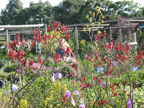 kangaroo paws in foreground