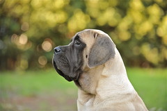 [フリー画像] [動物写真] [哺乳類] [イヌ科] [犬/イヌ] [マスティフ]      [フリー素材]