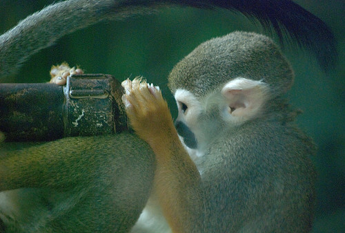 Monkey looking through telescope