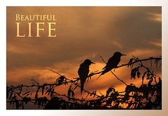 Beautiful Life (Hamad Al-meer) Tags: life sunset wild sky orange sun black bird beautiful birds canon eos wildlife kuwait hamad soe 30d 400mm غروب حمد الغروب الشمس supershot طيور almeer خضيري طائر المير hamadhd hamadhdcom wwwhamadhdcom