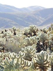 Cactus Fingers, Joshua Tree National Park (bwminseattle) Tags: california park tree nationalpark desert joshua joshuatree national 2009 joshuatreenationalpark