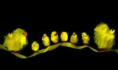 Chicks on a ribbon