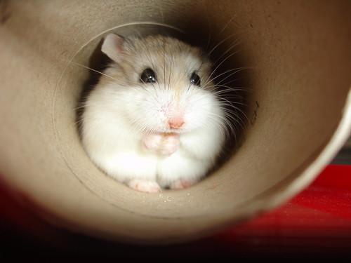hamster in a tube