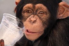 Thirsty Chimp (Megan Lorenz) Tags: noah animal closeup mammal funny looking chimp humanity florida watching humor drinking sarasota chimpanzee staring primate thirsty plasticcup lemonaid bigcathabitatandgulfcoastsanctuary