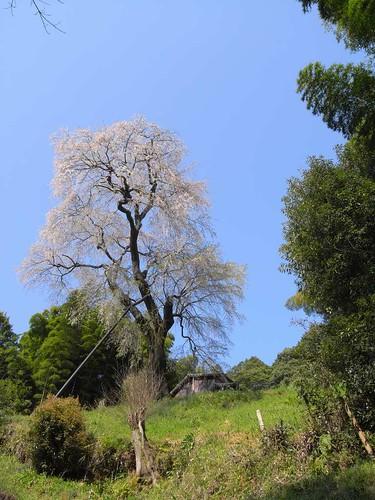 09-04-10【桜】@満願寺「八講桜」-05