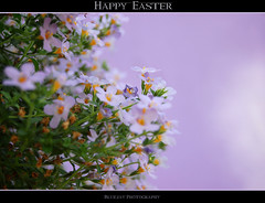Happy Easter (bluejay 2006) Tags: flowers plant nature fleurs holidays pretty friday heavenly purpleflowers tistheseason naturesfinest otw thankyouall haveagreatweekend bej nikond40 happyeastereveryone damniwishidtakenthat bluejay2006 dragondaggerphoto novavitanewlife