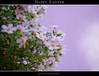 Happy Easter (❁bluejay 2006❁) Tags: flowers plant nature fleurs holidays pretty friday heavenly purpleflowers tistheseason naturesfinest otw thankyouall haveagreatweekend bej nikond40 happyeastereveryone damniwishidtakenthat bluejay2006 dragondaggerphoto novavitanewlife