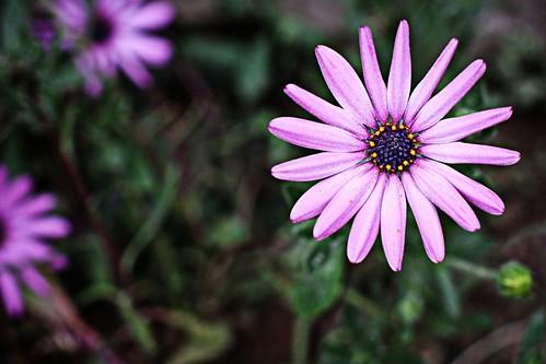 invasion of the purple daisies