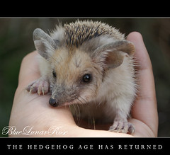 BREAKING NEWS: The Hedgehog Age has returned... A New Season will start !!! :D (BlueLunarRose) Tags: life cute beautiful hedge hedgehog allrightsreserved lifeisbeautiful bluelunarrose