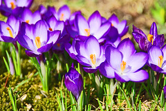 crocus. (asdrid) Tags: spring crocus krokus vr