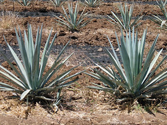 champ d'agaves (1)