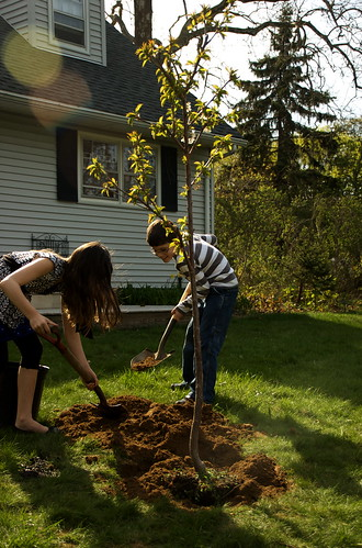 Planting Bjorn's Sweet Cherry Tree