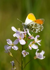 Orange Tipped Butterfly on a Wild Cuckoo Flower (c1po) Tags: chris ladies wild orange flower macro butterfly sony meadow sigma hay alpha wiltshire cuckoo smock owens tipped 70300 a700 minety c1po