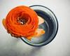 (alignment) Tags: orange flower glass ranunculus 50mmf18