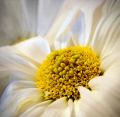 You Are My Sunshine (Jenn (ovaunda)) Tags: yellow sony dsch5 mywinners aplusphoto macromarvels awesomeblossoms jennovaunda ovaunda