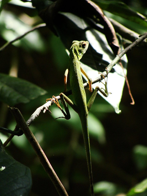 Niah Caves 12 - Great shot of the long-tailed lizard by Ben Beiske