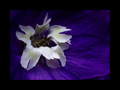 In a Bed of Blue and Purple (AnyMotion) Tags: flowers blue plants white macro nature floral colors garden colours purple blossom frankfurt natur pflanzen blumen lila blau makro blte garten delphinium 2009 larkspur farben weis rittersporn makroaufnahmen anymotion ecellence mywinners theunforgettablepictures theunforgettablepicture canoneos5dmarkii awesomeblossoms 5d2 vosplusbellesphotos