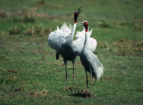 Sarus Crane- Courtship