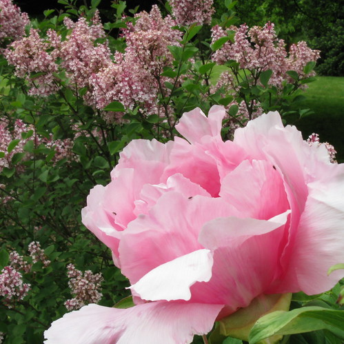 Tree Peony and Lilac 'Tinkerbell', May 14th