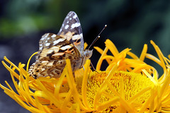 Painted Lady (pmcdee) Tags: butterfly paintedlady wallington d700