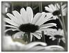 daisies dream 2 (fotophriendly) Tags: nature daisies tones shiningstar artisitc beautifulshot bwphotoaward flickrsspecial eliteimages worldtrekker 469photographer idreamphotography