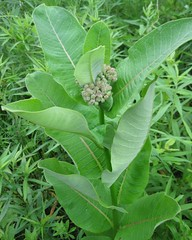 Common Milkweed 1